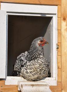 Best Automatic Chicken Coop Door
