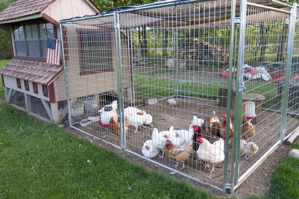 Best Walk in Chicken Coop
