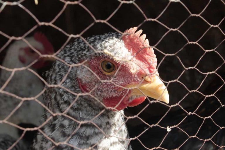 Best chicken fence