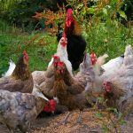 Feeding Backyard Chickens