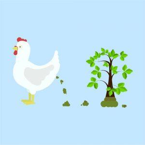 Chicken Poop