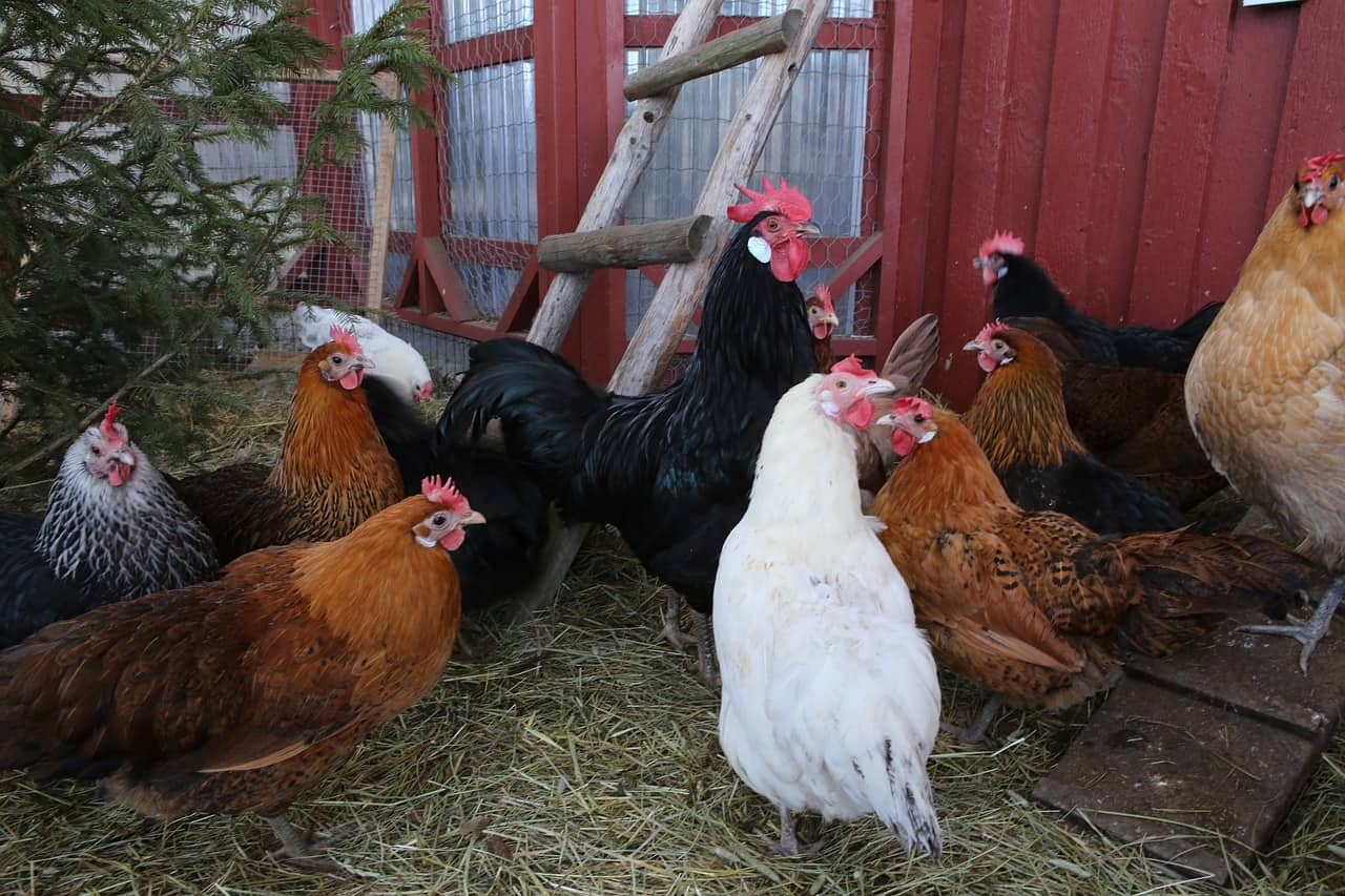 How much space do chickens need?