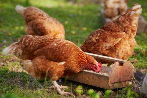 Best Chicken Feed