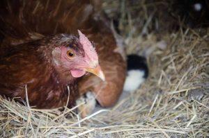 Best Chicken Coop Bedding