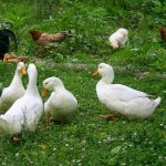 Can You Raise Chickens and Ducks Together?