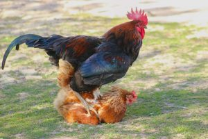 How Does A Rooster Fertilize Eggs?