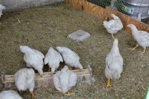 Best Chicken Coop Floor Ideas