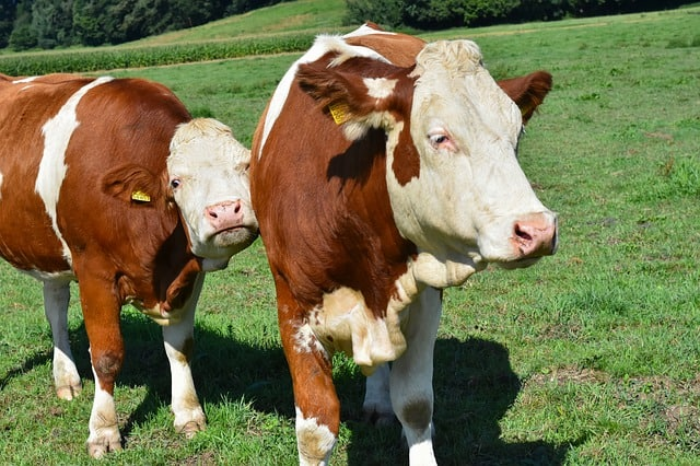 How Much Does A Cow Cost?