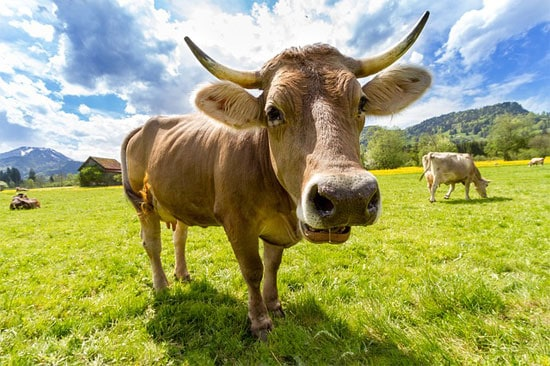 Do Female Cows Have Horns?