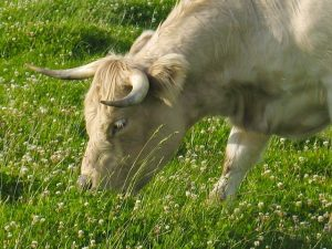 Can Cows Eat Clover?