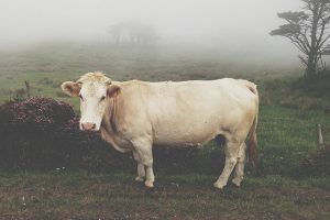 How Many Steaks Can You Get From A Cow?