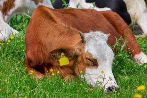 Do Cows Sleep Standing Up?