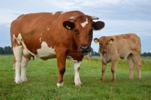 do male cows have udders?