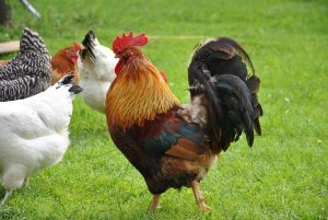How Much Is The Cost Of A Rooster?